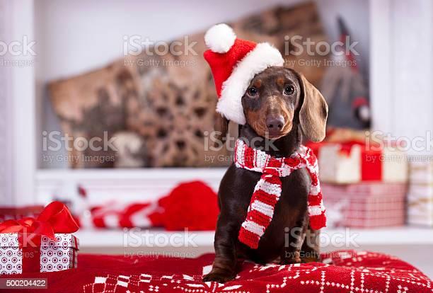 Christmas wreath on neck dachshund puppy picture id500204422?b=1&k=6&m=500204422&s=612x612&h= whcn2andngjl5fwpbgmeiq9pvxfshfihs709tuizkw=