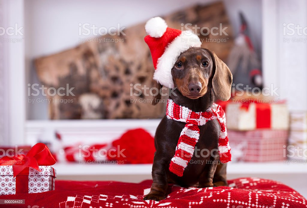 Christmas wreath on neck dachshund puppy stock photo
