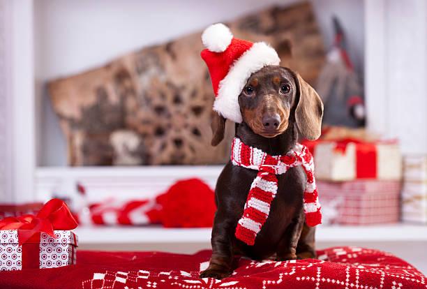 christmas wreath on neck dachshund puppy - tax bildbanksfoton och bilder