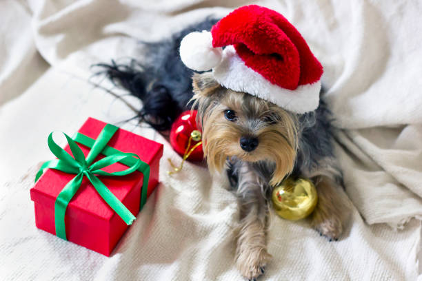 Christmas yorkshire terrier picture id1273847214?b=1&k=6&m=1273847214&s=612x612&w=0&h=vhhr 78tqlke1f pnzunf6npbw3h20fkfhs2uhl1z 8=