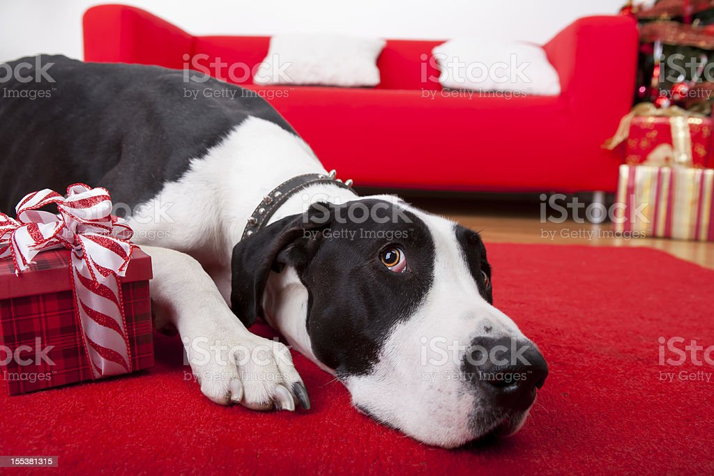 Christmas-Great Dane laying on rug stock photo