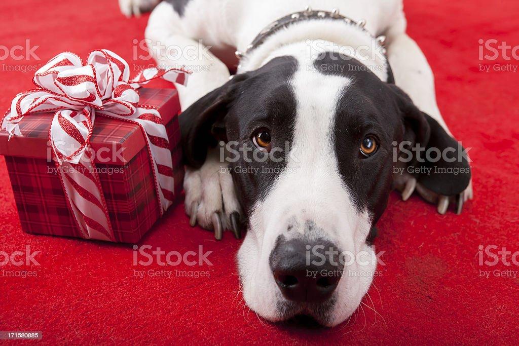 Christmas-Great Dane laying on rug with gift stock photo