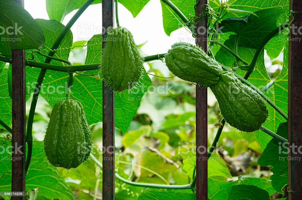 christophine or chayote fruits and leaves stock photo