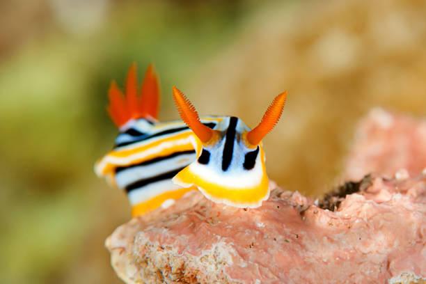 Chromodoris Elisabethina Nacktschnecken kriechen über das Korallenriff von Bali – Foto
