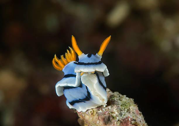 Chromodoris lochi, Nacktkiemer – Foto