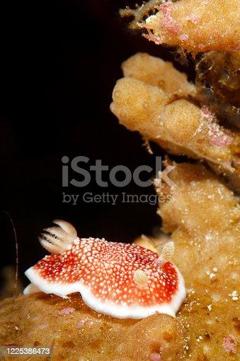 Reticulated Chromodoris (Chromodoris reticulata) Nudibranch. Dampier Strait, Raja Ampat, Indonesia