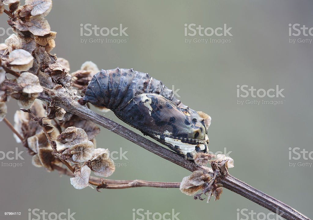 Chrysalid, butterfly. royalty-free stock photo