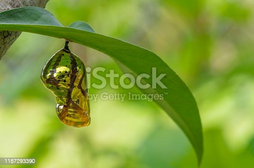 Chrysalis Butterfly shiny golden hanging on a leaf with nature background.