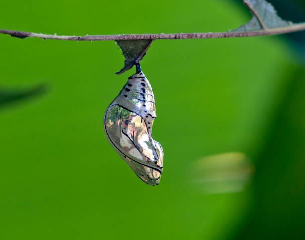 Chrysalis of a Tithorea butterfly. stock photo