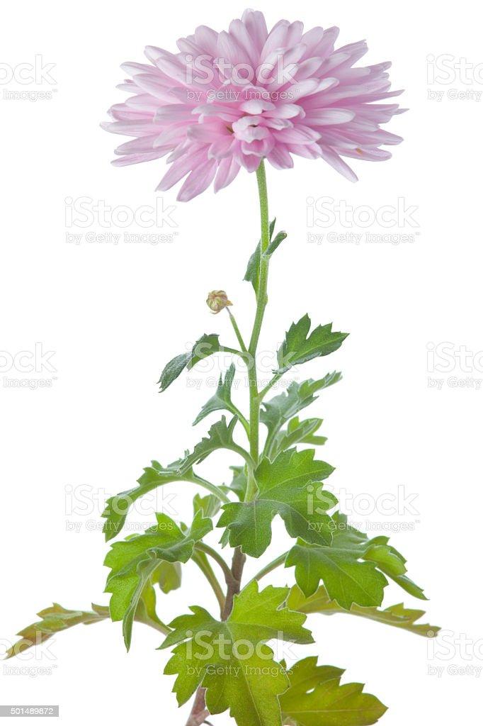 Chrysantemum stock photo