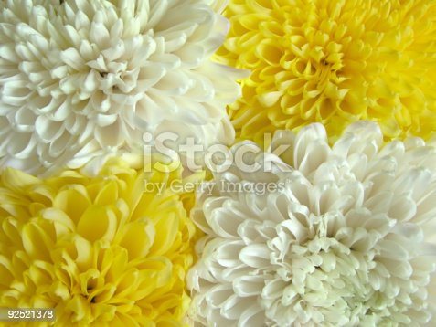 istock Chrysanthemum 1 92521378