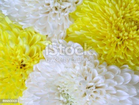 istock Chrysanthemum 4 89950003