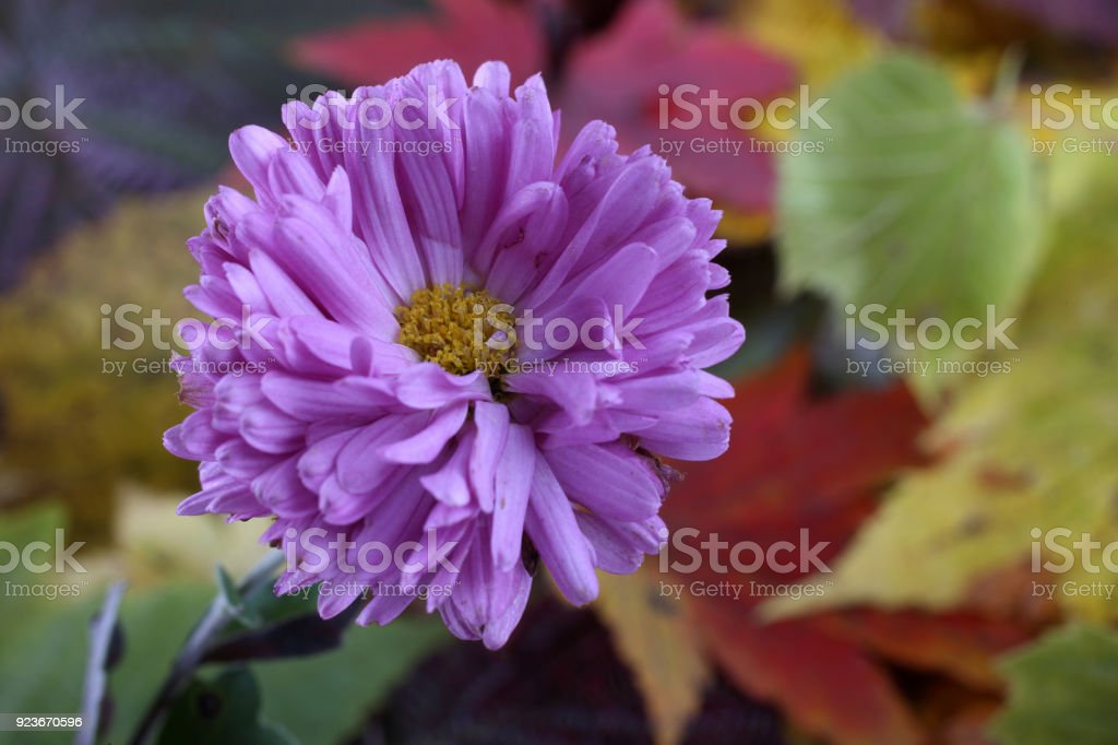 Chrysanthemum and autumn leaves stock photo