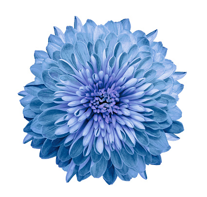Chrysanthemum Blue Flower On Isolated White Background With Clipping Path  Without Shadows Closeup For Design Nature Stock Photo - Download Image Now  - iStock