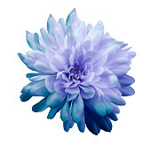 Chrysanthemum  blue-violet. Flower on  isolated  white background with clipping path without shadows. Close-up. For design. Nature.