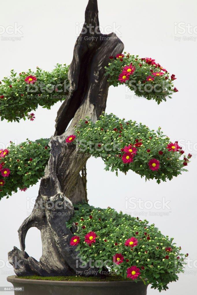 Chrysanthemum Bonsai Stock Photo Download Image Now Istock