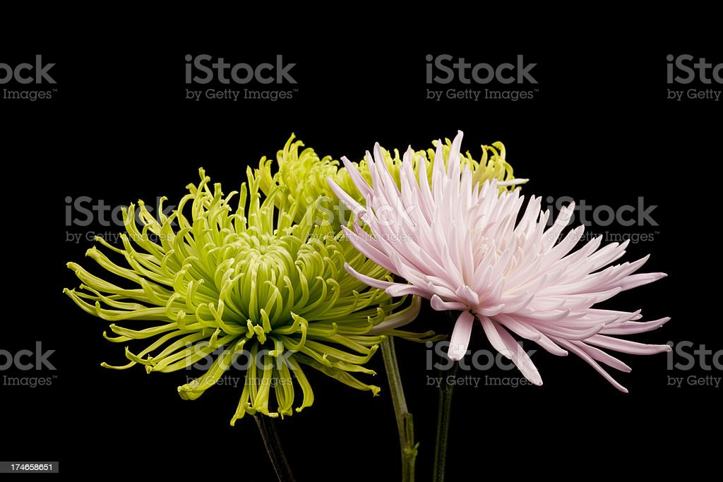 Chrysanthemum Bouquet, Mums, Delicate Flowers, Isolated on Black royalty-free stock photo