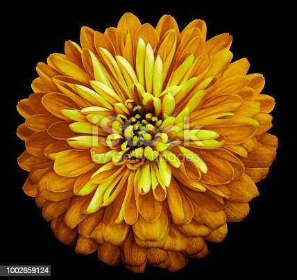Chrysanthemum   bright  yellow  flower on the black isolated background with clipping path.  Closeup no shadows. Garden  flower.  Nature.