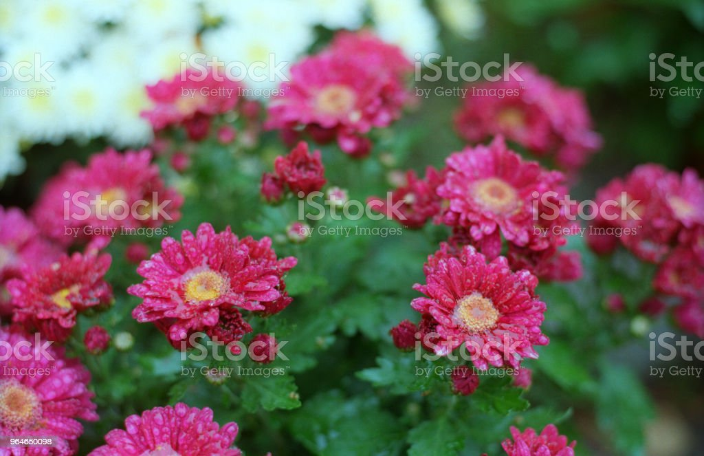 Chrysanthemum bushes in bloom. Red flowers in water drops. Shot on film royalty-free stock photo