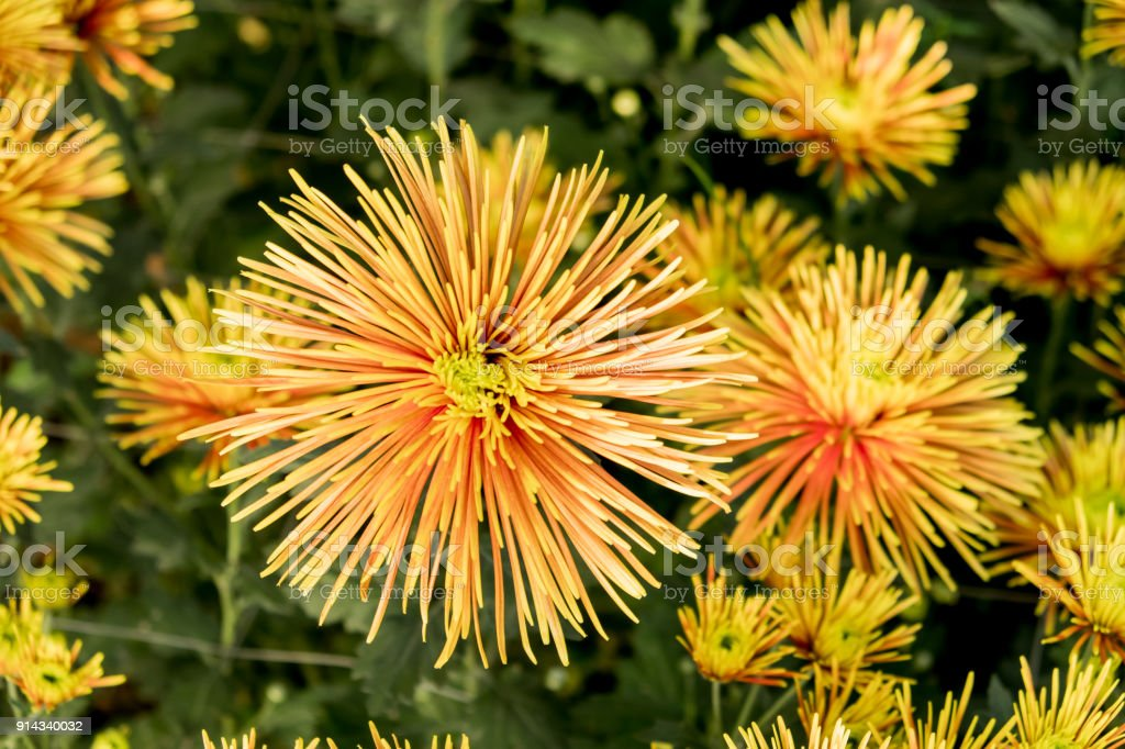 Chrysanthemum chispachispa means sparkle in spanish and that chispa means sparkle in spanish and that describes this yellow mightylinksfo