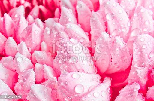 Chrysanthemum close-up. Macro photo.