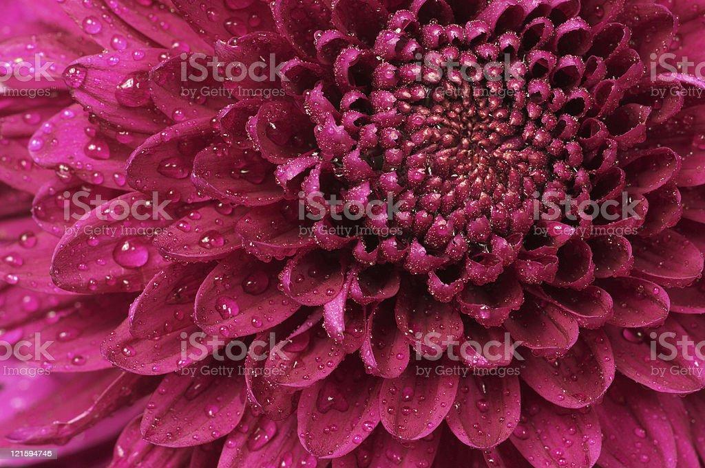 Chrysanthemum close-up royalty-free stock photo