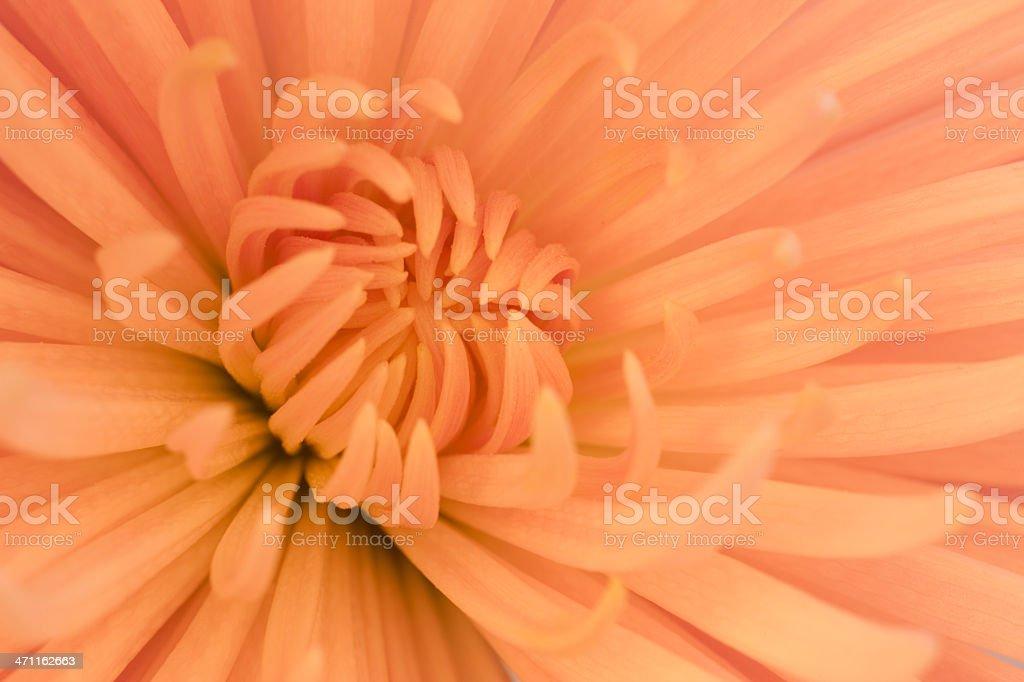 Chrysanthemum, Close-up, Spring, Full Frame royalty-free stock photo