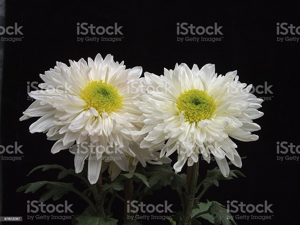 Chrysanthemum Couple in White royalty-free stock photo