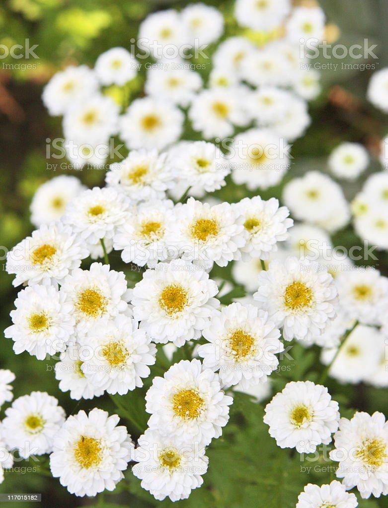 Chrysanthemum Daisy Flower Garden Blossoms royalty-free stock photo