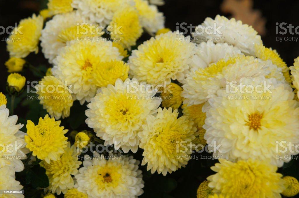 Ellen de crisantemo blanco o las mamás o chrysanths blanco flores con base amarilla - Foto de stock de Amarillo - Color libre de derechos