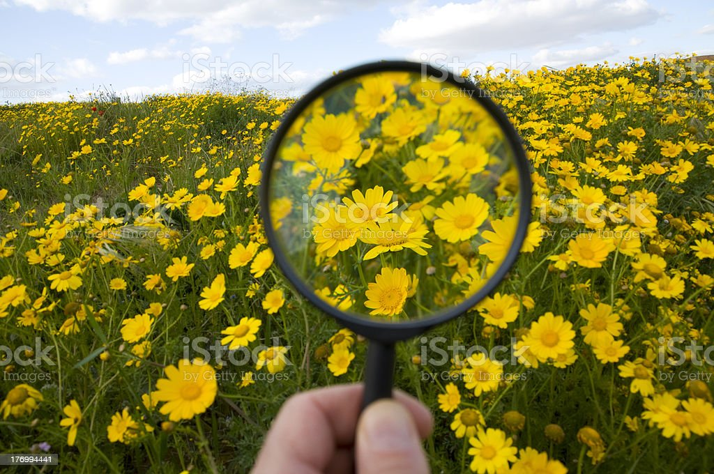 Chrysanthemum field with Magnifying Glass royalty-free stock photo
