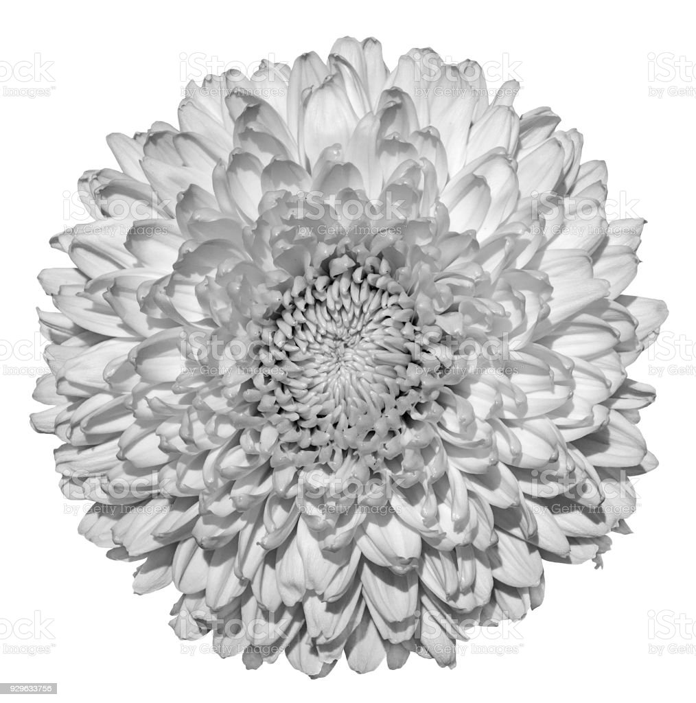 Image result for free images white globe chrysanthemum
