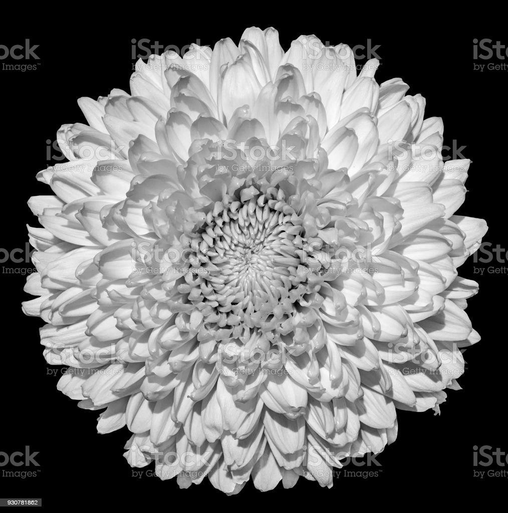 Chrysanthemum flower black and white macro photography isolated on chrysanthemum golden daisy flower black and white macro photography isolated on black royalty izmirmasajfo