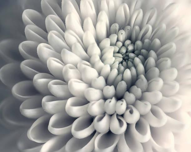 Chrysanthemum flower closeup stock photo