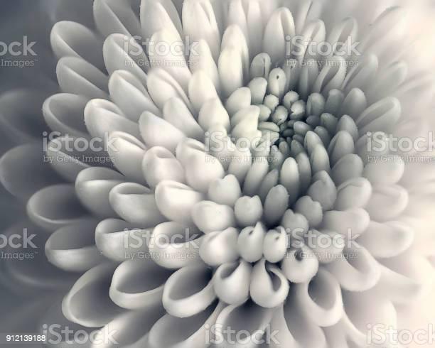 Photo of Chrysanthemum flower closeup