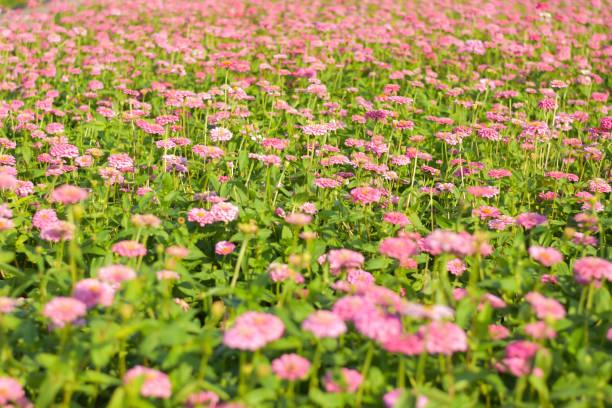 Chrysanthemum flower garden stock photo