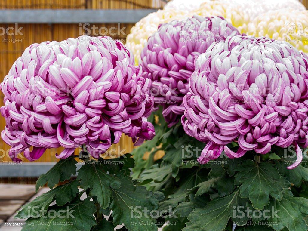 Fleur De Chrysanthème De Clôture Bambou Fond Dans Le Jardin Japonais ...