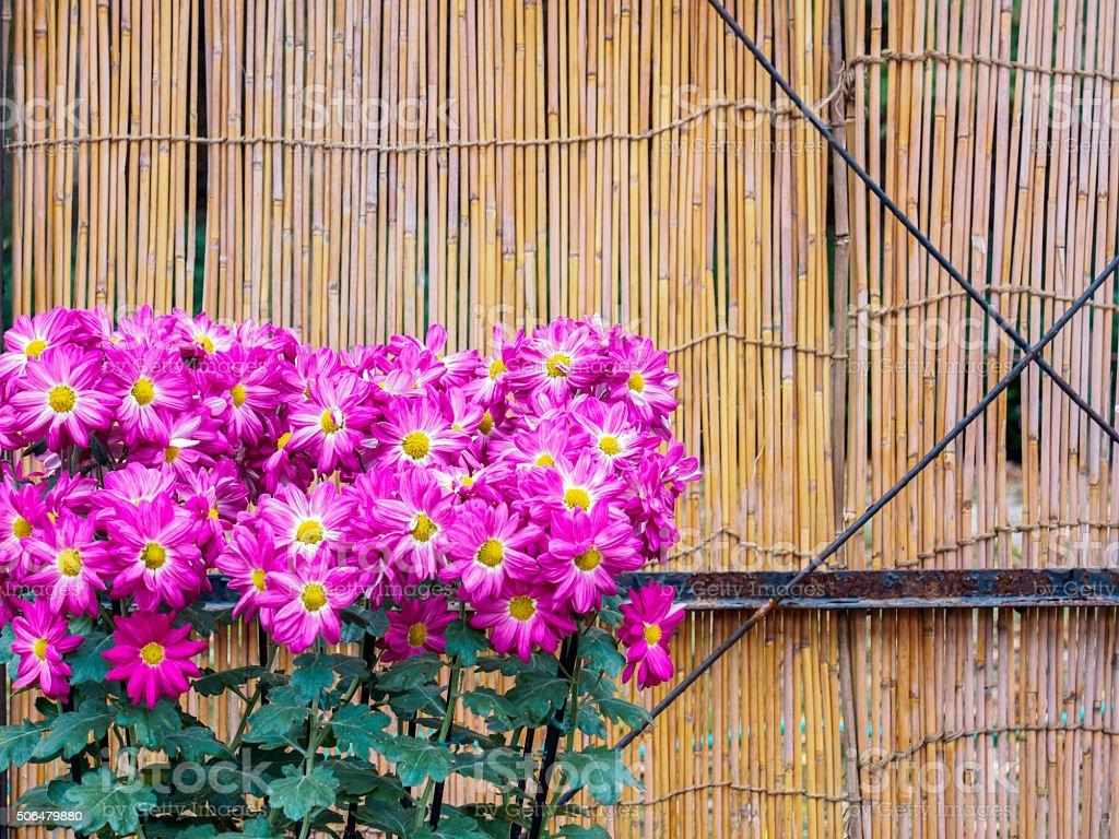 Photo libre de droit de Fleur De Chrysanthème De Clôture ...