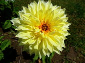 Beautiful yellow Chrysanthemum flower
