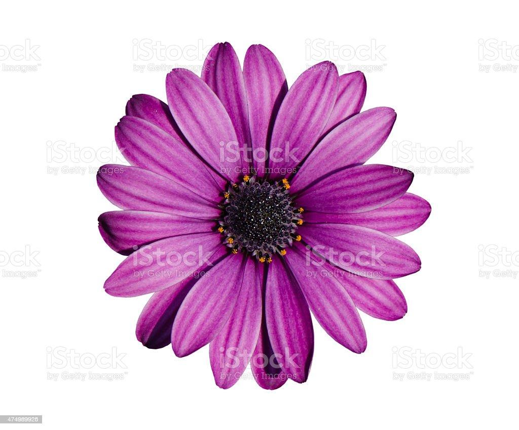Crisantemo flor - foto de stock
