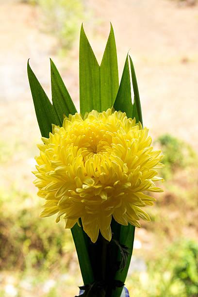 Chrysantheme Blume – Foto