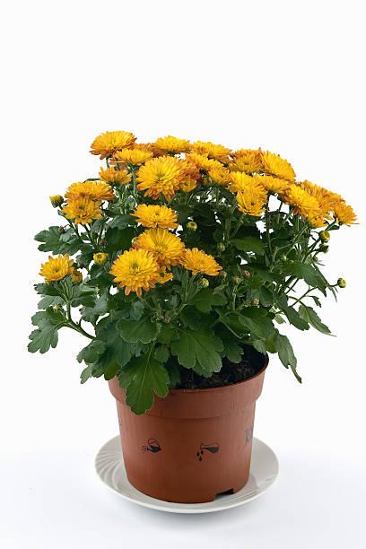 Chrysantheme flower pot – Foto