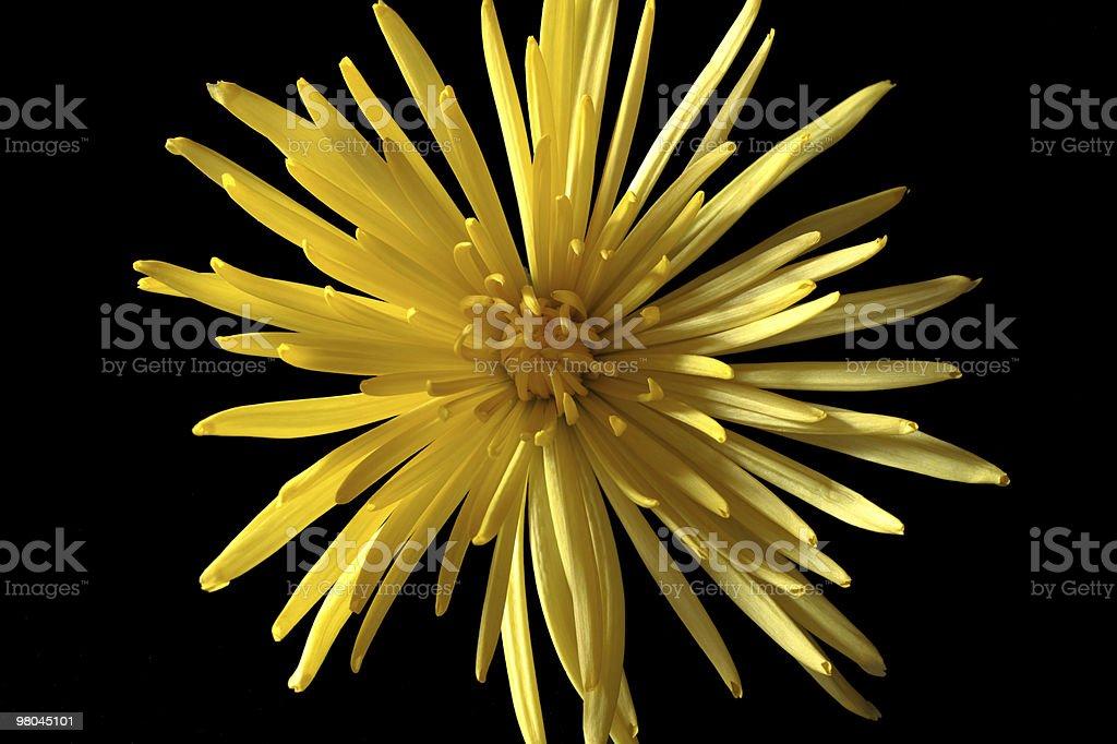 chrysanthemum flower with yellow petals royalty-free stock photo