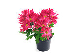 red chrysanthemum flowerpot on white isolated background.