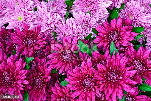 istock Chrysanthemum flowers as a background close up.Pink Chrysanthemums in autumn.Chrysanthemum wallpaper.Floral background. 850876094