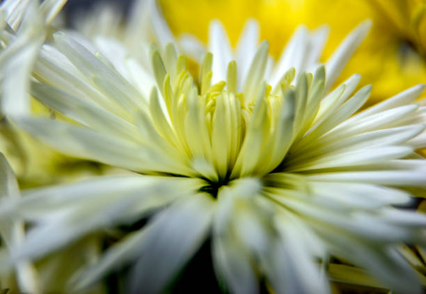 chrysanthemum flowers bloom in autumn / beautiful white and yellow chrysanthemum flowers close up. - mika foto e immagini stock