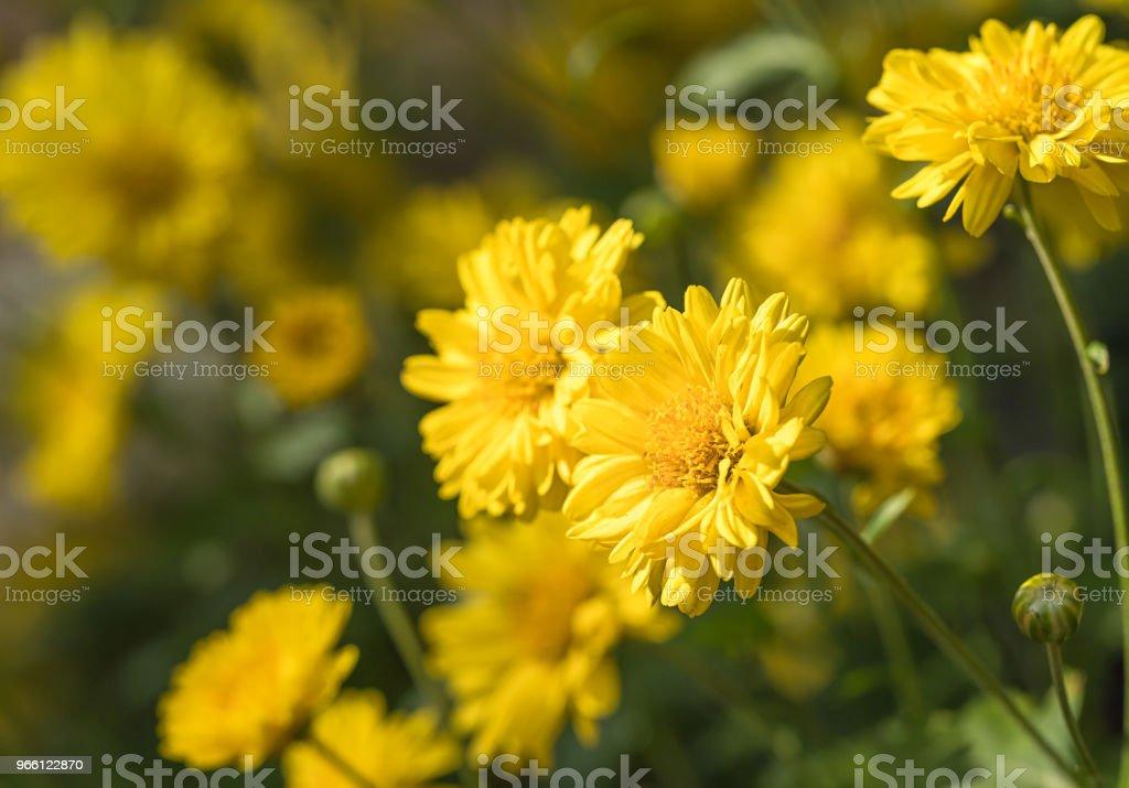Chrysanthemum blommor blomma i trädgården - Royaltyfri Blomma Bildbanksbilder