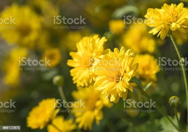 Chrysanthemum Blommor Blomma I Trädgården-foton och fler bilder på Blomma