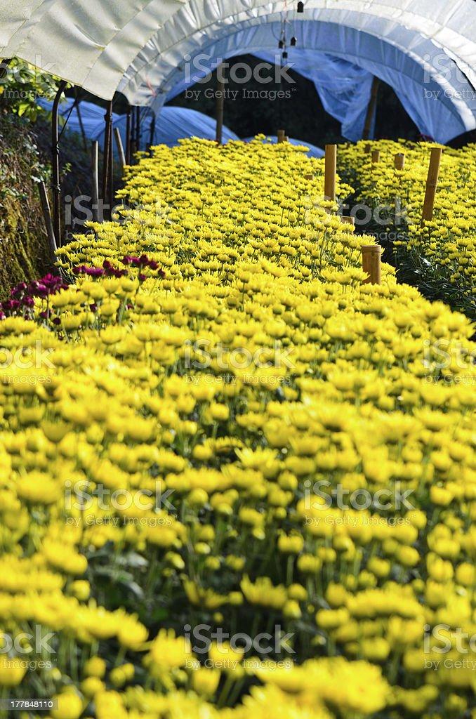 Chrysanthemum Flowers Farms. royalty-free stock photo