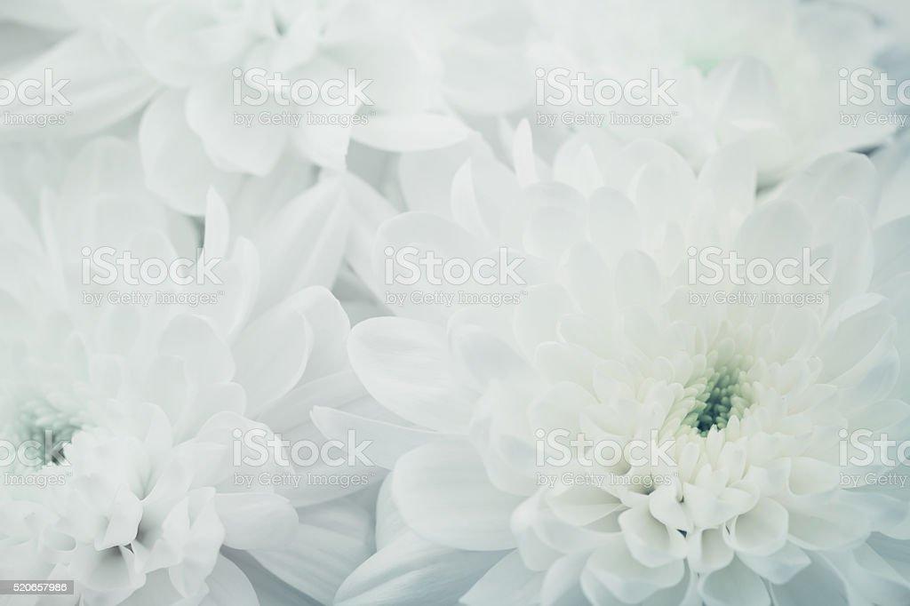 Chrysanthemum flowers for background, beautiful floral texture, retro toning, macro stock photo